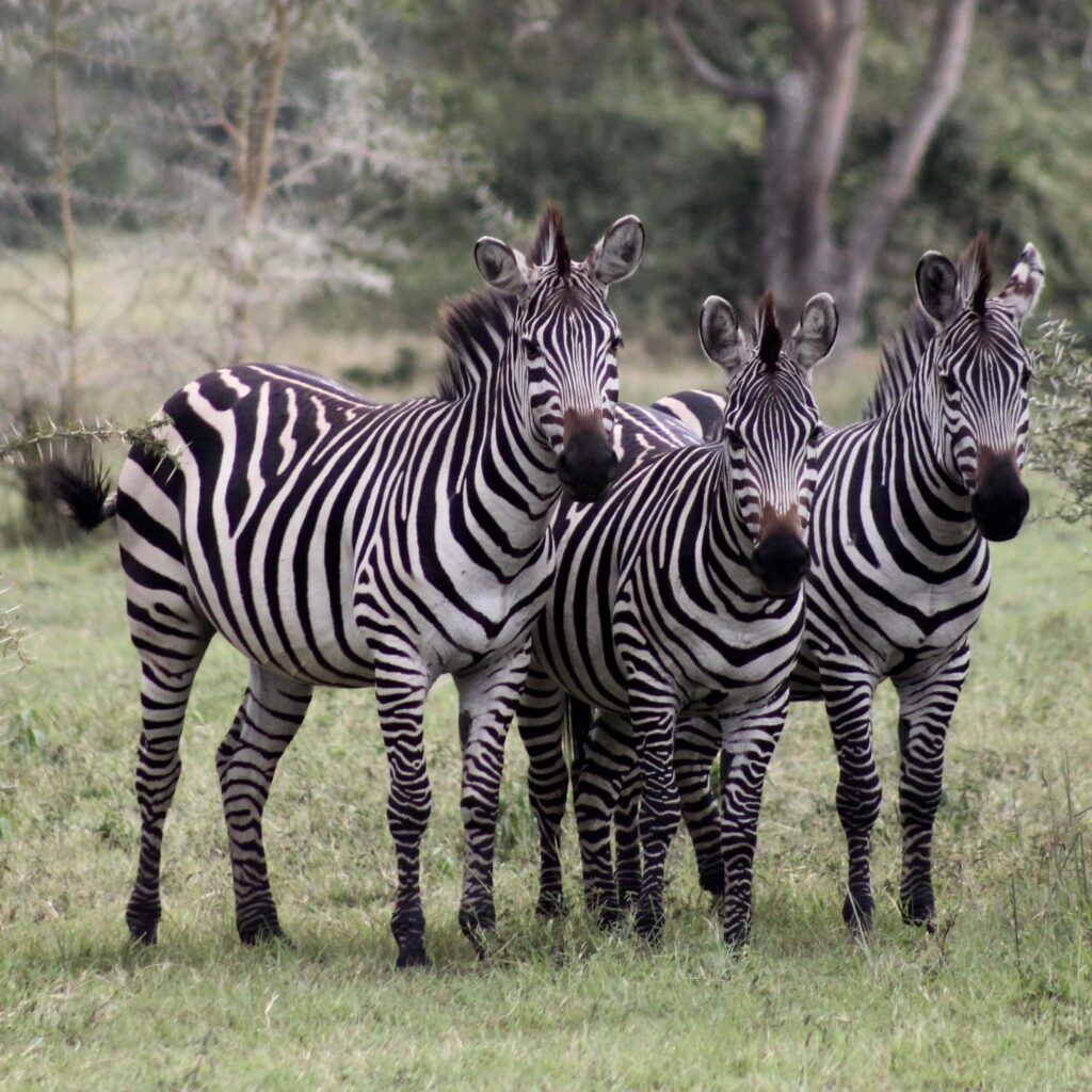 a group of three zebras stand side by side