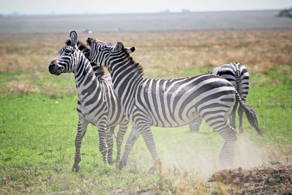 A zebra playfully hollers at another in the grasslands